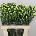 Olivino(Green)