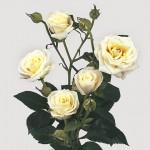 RóżaGałązkowa_Viviane