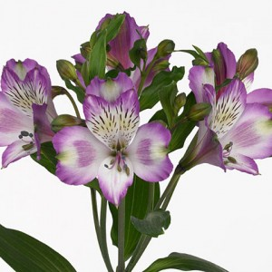 Alstromeria_hawaiian_Dream
