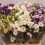 Eustoma_MIX