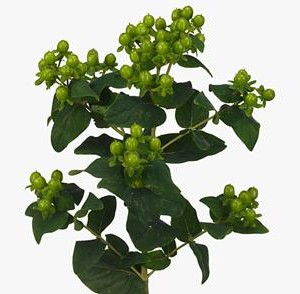 Hypericum(Kawa)Magical-green_power