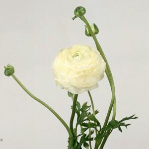 Ranunculus-White