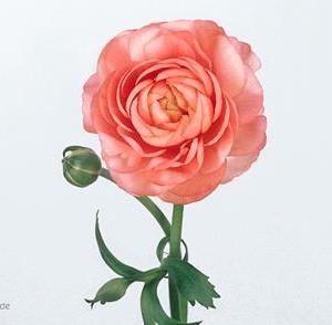 Ranunculus_Elegance_pink