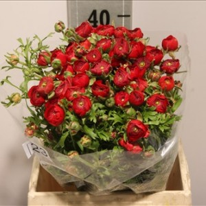 Ranunculus_red