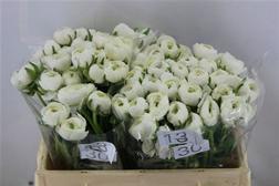 Ranunculus_white